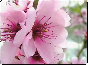 فصل بهار در ایران،شکوفه ی بهاری،شعر عاشقانه بهاری