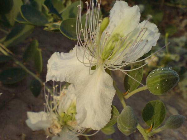 گل لگجین