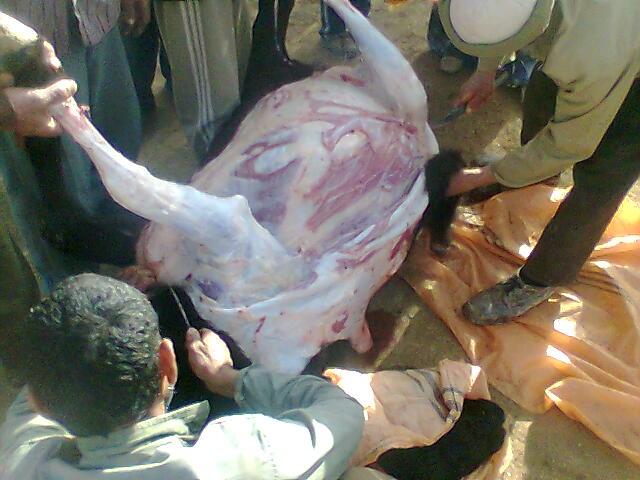 در حال پوست کردن گاو