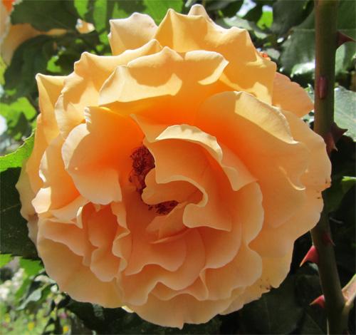 تصاویر زیباترین گلهای جهان
