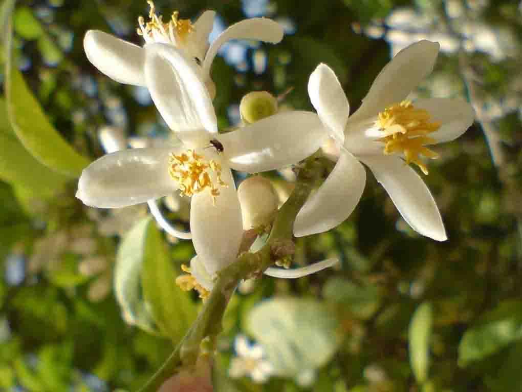 بهار و شکوفه ترنج در دشتستان بزرگ